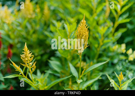 Plumed cockscomb flowers (Celosia Argentea). Selective focus with shallow depth of field. - Stock Photo