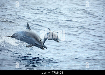 A mother and baby Pantropical spotted dolphin, Stenella attenuata, leap into the air off Maui, Hawaii. - Stock Photo