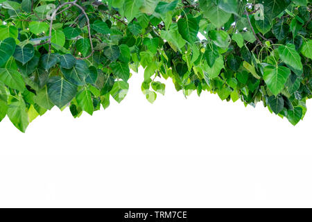Bodhi tree cover shade on white background - Stock Photo