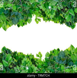 Bodhi tree leaves shade covered on white background - Stock Photo