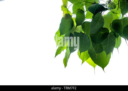 Bodhi leaves hanging on white background - Stock Photo