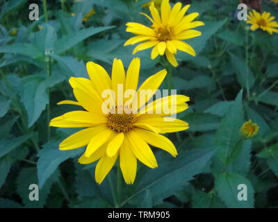 Little yellow flower. Yellow Dahlberg Daisy in the garden with blur green background. Maxican sunflower, flower in garden - Stock Photo