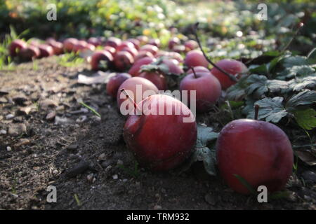 Small red apples in the sun, fallen on the ground from an apple tree in October - Stock Photo
