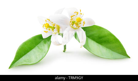 Isolated orange blossoms. Small branch of orange tree with flowers and leaves isolated on white background with clipping path - Stock Photo