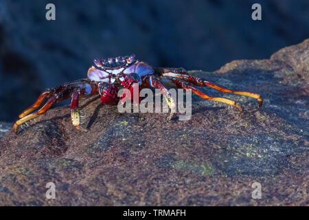 Eine rote Klippenkrabbe an der Küste von Gran Canaria - Stock Photo