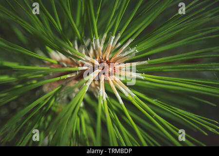 Closeup photo of green needle pine tree on the right side of picture. Small pine cones at the end of branches. Blurred pine needles in background - Stock Photo
