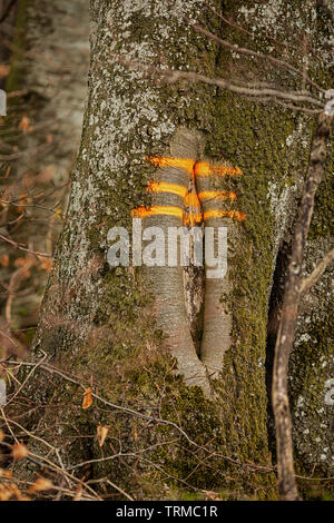 marking on a tree forestry tree felling - Stock Photo