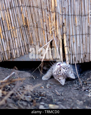 Little funny baby gray kitten playing outside with himself. Selective focus. - Stock Photo