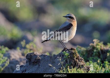 Northern Wheatear / Steinschmätzer ( Oenanthe oenanthe ), male adult, bird migration, resting on farmland, wildlife, Europe. - Stock Photo