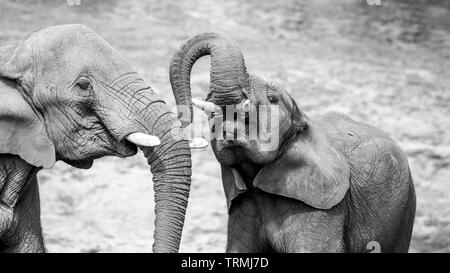 Black & white close-up photograph showing strong affection, bond, love between young African elephant calf & elephant cow mother (Loxodonta) together. - Stock Photo
