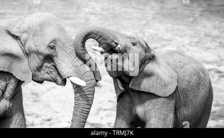 Black & white close-up photograph showing strong affection, bond, love between African elephant calf & his mother (Loxodonta) together outside in sun. - Stock Photo
