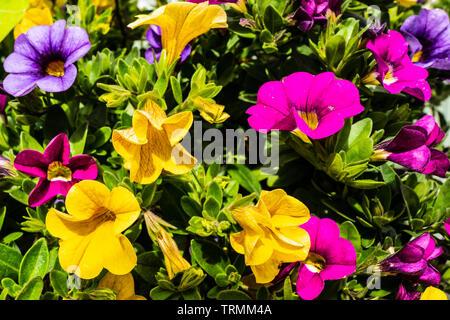 Vibrant mixed  Petunia flowers - Stock Photo