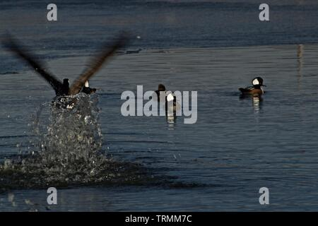 Canada goose Taking Flight over Small Flock of  Hooded Mergansers, Lindsey Park Public Fishing Lake, Canyon, Texas. - Stock Photo