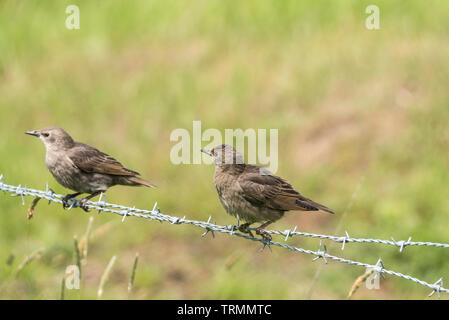 Fledgling Common Starlings (Sturnus vulgaris) on a barbed wire fence - Stock Photo