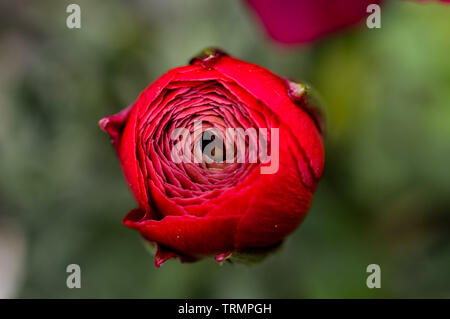 Macro shot from above of beautiful opening crimson garden Ranunculus rosa flower, a member of the Ranunculaceae family in the summer - Stock Photo