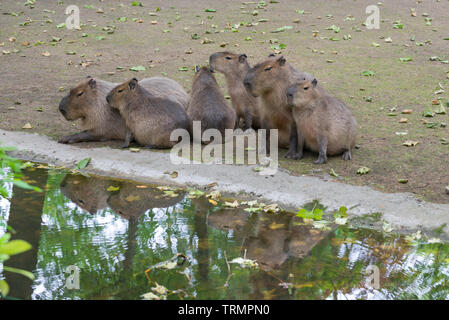 Family of Capybara ( Hydrochoerus hydrochaeris ) and their reflection in the water - Stock Photo