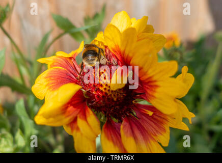 A bumblebee on Gaillardia 'Goblin' flowers in a garden. - Stock Photo