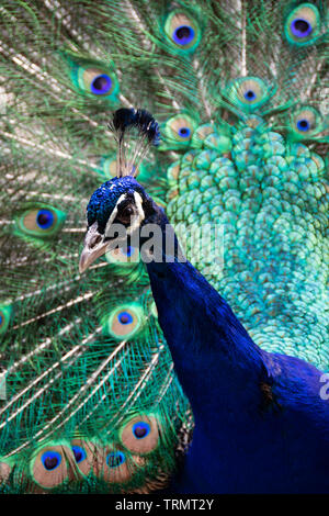 Peacock with feathers spread - Stock Photo