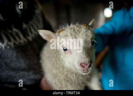 Icelandic sheep are used for meat, milk and also for wool production, in a ranch in Iceland - Stock Photo