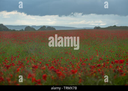 Berwick St James, Wiltshire, UK. 9th June 2019. UK Weather: Dark storm clouds gather over a field of bright red poppies  on the Wiltshire Downs near the A303 on an a mixed day of sunshine and rain showers.  Credit: Celia McMahon/Alamy Live News. - Stock Photo