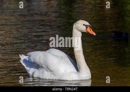 Mute Swan (Cygnus olor) swimming in a pond on Sanibel Island, Florida - Stock Photo