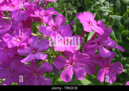 A purple Garden phlox (Phlox paniculata) - Stock Photo