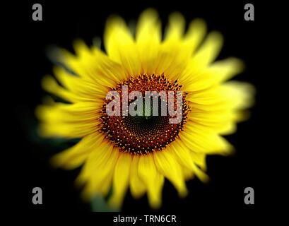 magic sunflower , spain - Stock Photo