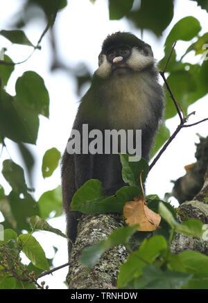 Red-tailed monkey  (Cercopithecus Ascanius),  Bigodi Wetland Sanctuary, Kibale Forest National Park, Uganda, - Stock Photo