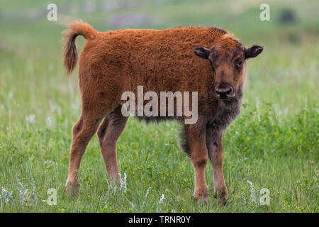 A cute baby bison or buffalo curiously looks at visitors in Custer State Park, South Dakota. - Stock Photo