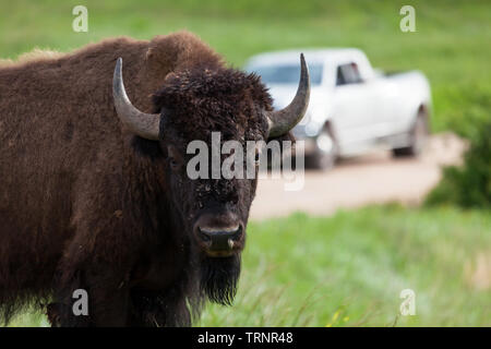 A bison or buffalo looks curiously at visitors on the edge of a dirt road with a truck in the background. - Stock Photo