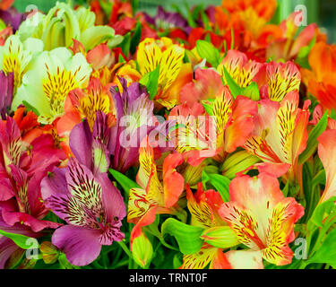 Beautiful alstroemeria flower background. Alstroemeria flower colorful. Close-up. - Stock Photo