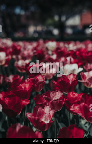 Close up of beautiful red, pink, white, tulip flowers in tulip field with a blurred background. Blooming tulips. Tulip Festival in Pella, Iowa. - Stock Photo