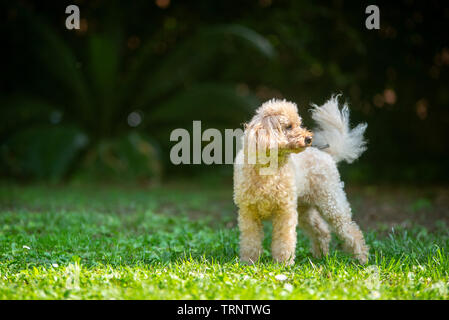 apricot poodle is standing in the garden with tail up - Stock Photo