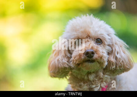 Close-up portrait of apricot poodle in the garden - Stock Photo