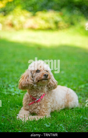 Apricot poodle with pink collar is resting in the garden - Stock Photo