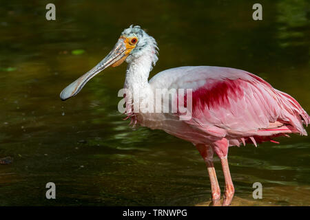 Roseate spoonbill (Platalea ajaja / Ajaia ajaja) foraging in pond, native to South America, the Caribbean, Central America and Mexico - Stock Photo