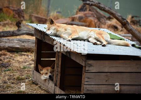 Sleeping Dingos at a dog kennel in Cleland Wildlife Park, Adelaide, South Australia, SA, Australia - Stock Photo