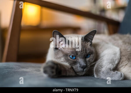 Siamese cat reclining on chair - Stock Photo