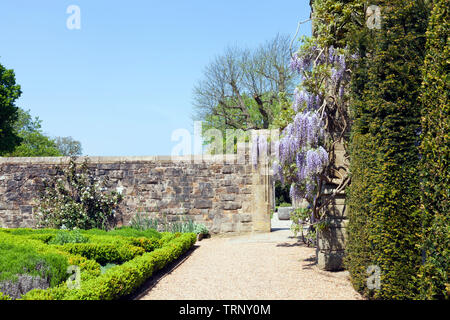 Sunny garden with flowering purple wisteria on a stone wall and small trimmed hedge plants . - Stock Photo