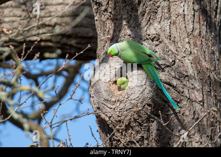 The rose-ringed parakeet, also known as the ring-necked parakeet, is a medium-sized parrot in the genus Psittacula, of the family Psittacidae. - Stock Photo