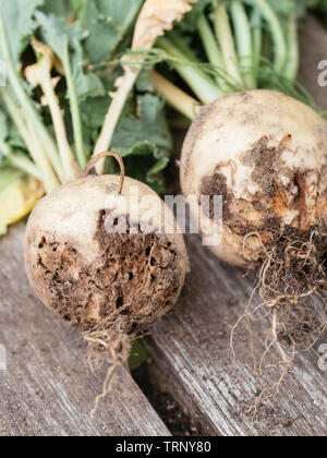 May turnip (Brassica rapa subsp. rapa var. majalis) with damage caused by the root maggot - Stock Photo