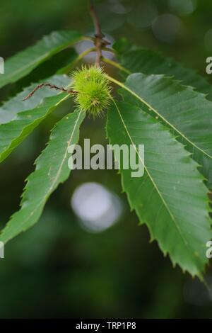 Sweet chestnut Leaves (Castanea sativa) close up. Late Summer. Ludwell Valley Park, Exeter, Devon, UK. - Stock Photo