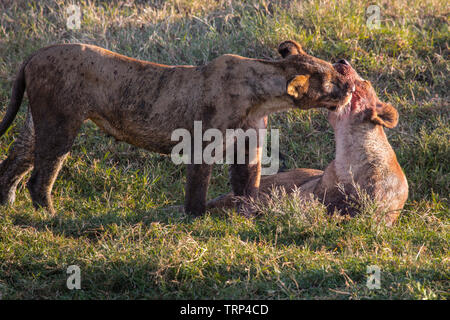 Lions have taken down and killed a Cape Buffalo, Ngorongoro Crater, Tanzania. Here grooming and licking blodd off each other. - Stock Photo