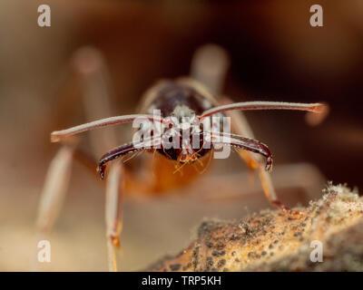 Trapjaw ant Odontomachus  sp.Peruvian Amazon - Stock Photo