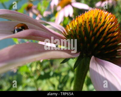 Red ladybug on Echinacea flower, ladybird creeps on stem of plant in spring in garden in summer. Pink Echinacea flower in the garden. Herbal plant. Ec - Stock Photo