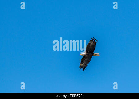 A bald eagle (Haliaeetus leucocephalus) soars against a clear blue sky. - Stock Photo