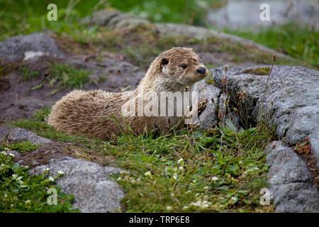 Otter sat on dry rocks - Stock Photo
