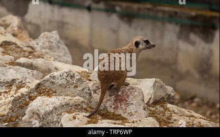 a suricate on a rock - Stock Photo