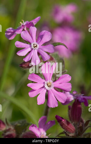 Red campion, Silene dioica, male plant flowers of wild hedgerow dioecious plant in spring, Berkshire, England, UK - Stock Photo