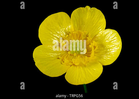 Flower of a yellow meadow buttercup, Ranunculus acris, showing its structure against a black background - Stock Photo
